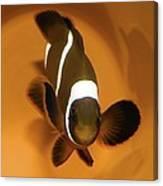 Three-band Anemonefish Canvas Print