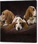 Three Basset Hound On Brown Muslin Canvas Print