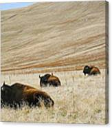 Three Bison Canvas Print