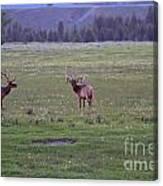 Three Bull Elk Canvas Print