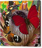 Three Butterflies On Protea Canvas Print