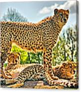 Three Cheetahs Canvas Print