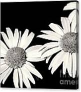Three Daisy Amigos Canvas Print
