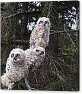 Three Great Horned Owl Bubo Virginianus Canvas Print