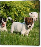 Three Jack Russell Terrier Puppies Canvas Print
