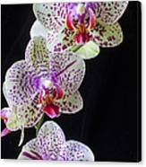 Three Orchids Canvas Print