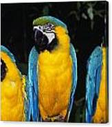 Three Parrots Canvas Print