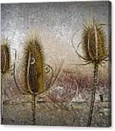 Three Prickly Teasels Canvas Print