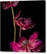 Three Purple Anemones Canvas Print