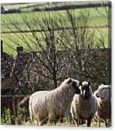 Three Sheep In A Field With Stone Canvas Print