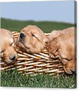 Three Sleeping Puppy Dogs In Basket Canvas Print