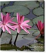 Three Sweet Pink Water Lilies Canvas Print