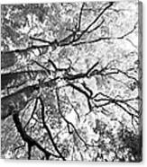 Three Trees Reach For The Sky Black And White Canvas Print
