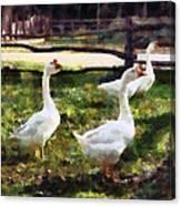 Three White Geese Canvas Print