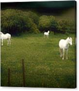 Three White Horses Canvas Print