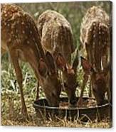 Three White-tailed Deer Fawns Canvas Print
