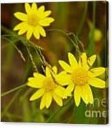 Three Yellow Amigos  Canvas Print