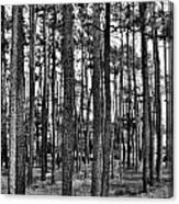 Thru The Pines Canvas Print