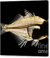 Tibetan Glassfish Canvas Print