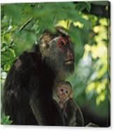 Tibetan Macaque Nursing Baby Canvas Print