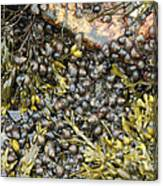 Tidal Pool With Rockweed Canvas Print