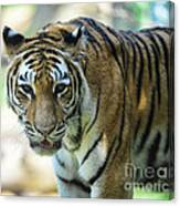 Tiger - Endangered - Wildlife Rescue Canvas Print