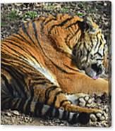 Tiger Behavior Canvas Print
