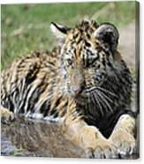 Tiger Cub In A Puddle Canvas Print