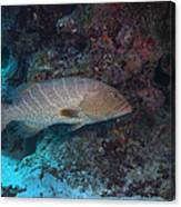 Tiger Grouper Swimming Along The Bottom Canvas Print
