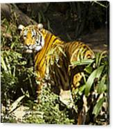 Tiger In The Rough Canvas Print