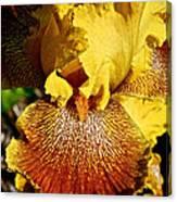 Tiger Iris Canvas Print