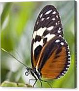 Tiger Longwing Butterfly Heliconius Canvas Print