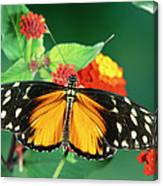 Tiger Longwing Heliconius Hecale Canvas Print