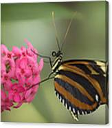 Tiger Longwing On Flower Canvas Print