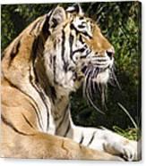 Tiger Observations Canvas Print