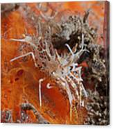 Tiger Shrimp On Orange Sponge, Bali Canvas Print