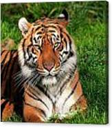 Tiger Sitting In The Grass Canvas Print