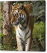 Tiger Walking Canvas Print
