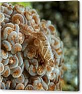 Tiny Cryptic Brown And Grey Shrimp Canvas Print