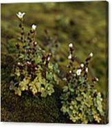 Tiny Flowering Plant Grows In Moss Canvas Print