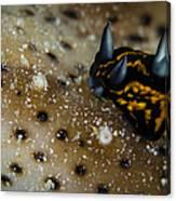 Tiny Nudibranch On Sea Cucumber Canvas Print