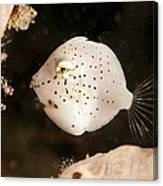 Tiny White Filefish With Small Black Canvas Print