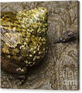 Top Shell Clanculus Sp Canvas Print