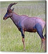 Topi Antelope Canvas Print