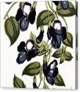 Torenia Asiatica Pulcherrima Canvas Print