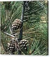 Torrey Pine Cones Canvas Print