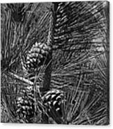 Torrey Pine Cones In Black And White Canvas Print