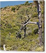 Torry Pines Sentinal Canvas Print