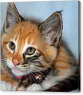 Tortoiseshell Kitten Canvas Print