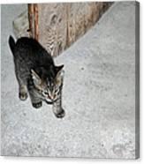 Tough Barn Kitten Canvas Print